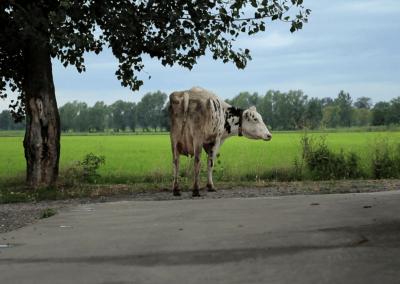 Le vacche e i robotCascina Femegro, Zibido San Giacomo